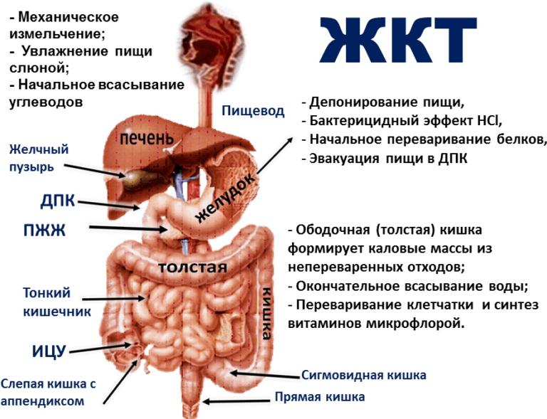 Диета для кишечника и желудка - меню, запрещенные продукты, советы