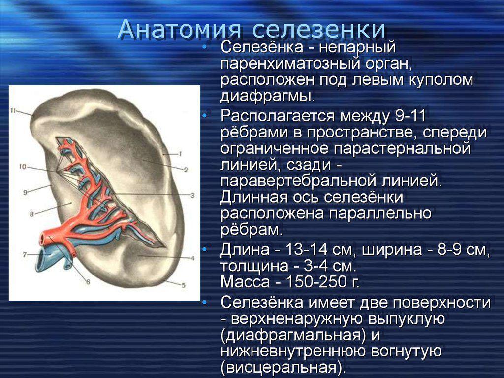 Анатомия селезенки