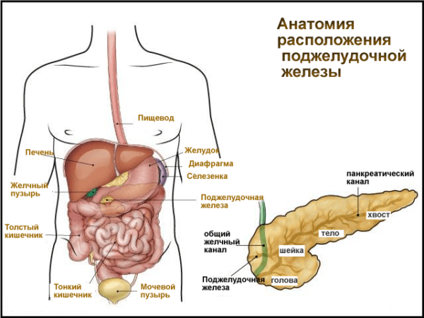 Анатомия расположения поджелудочной железы