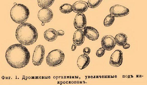 Дрожжевые грибы в кале у взрослого
