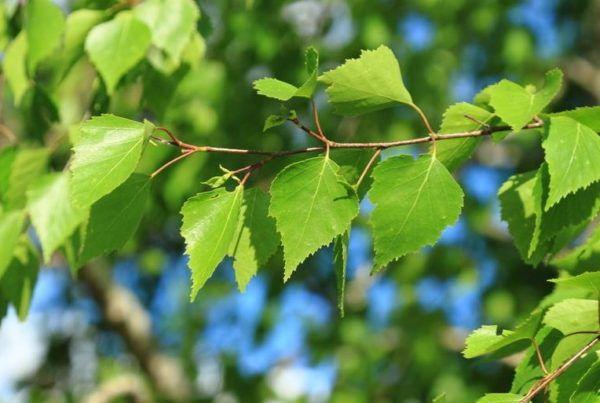 Листья берёзы содержат большое количество антибактериальных веществ