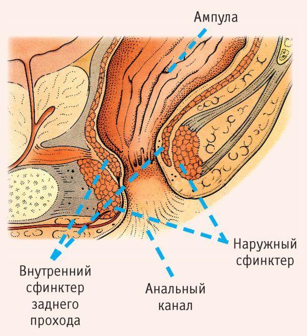 Нижняя часть прямой кишки называется заднепроходным (анальным) каналом, он проходит сквозь тазовое дно и заканчивается задним проходом