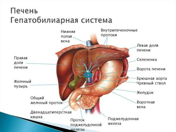 Печень. Гепатобилиарная система