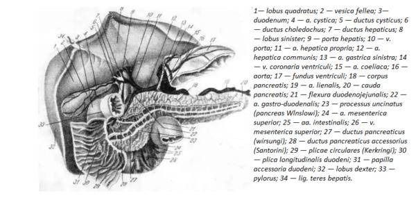 Поджелудочная железа с ее главными сосудами и протоками