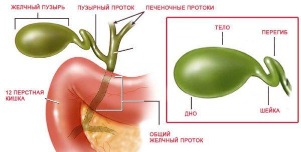 Схематичное изображение органа