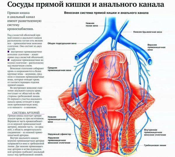 Сосуды прямой кишки и анального канала
