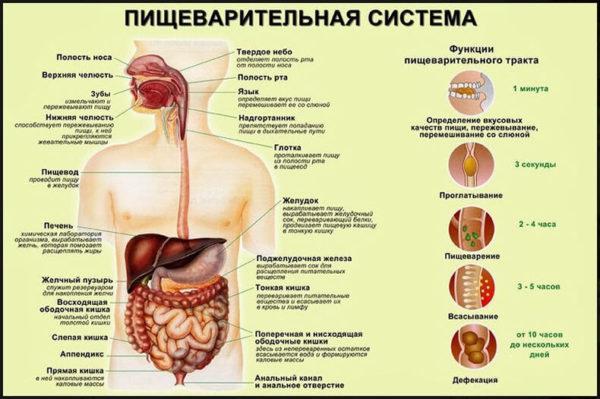 Строение, функции пищеварительной системы