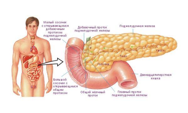 Устройство поджелудочной железы