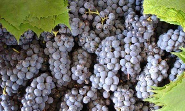 Черный сорт винограда