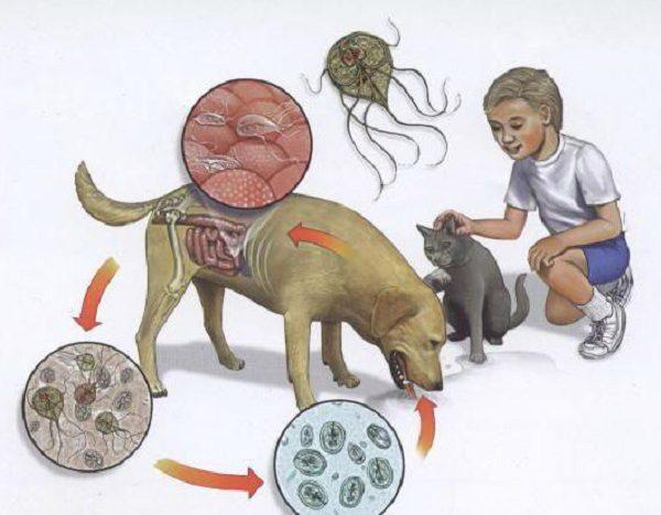Лямблии могут паразитировать у животных