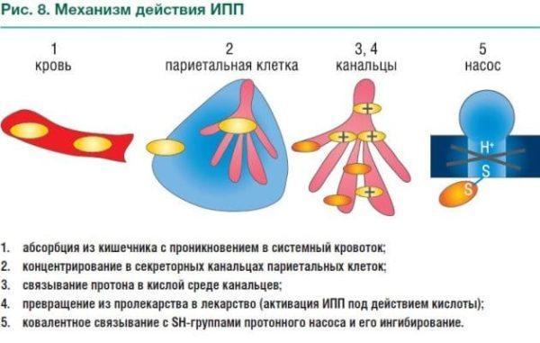 Механизм действия ИПП