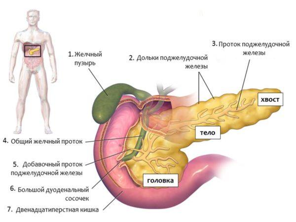 Поджелудочная железа - строение и функции