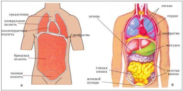 Расположение органов у человека