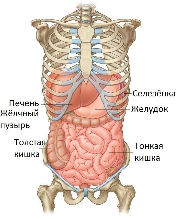 Расположение органов в брюшной полости
