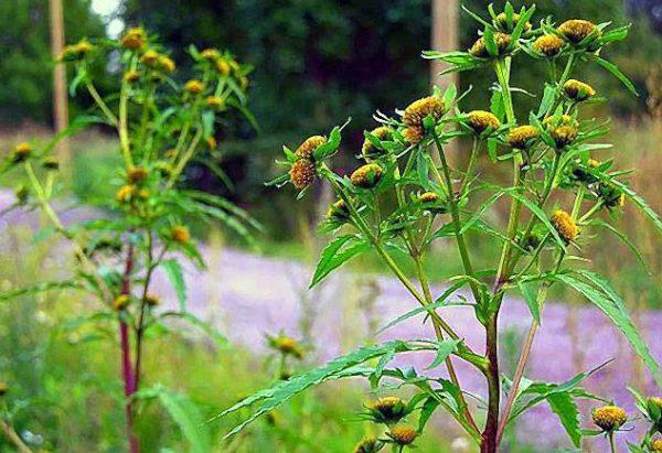 Сбор череды и ромашки оказывает общее тонизирующее, витаминизирующее и дезинфицирующее воздействие