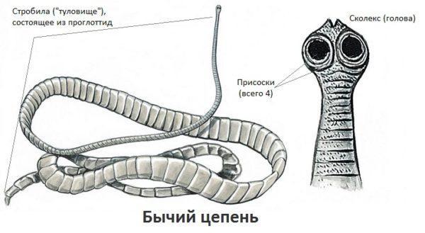 Строение бычьего цепня