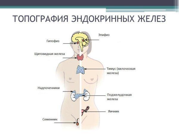 Топография эндокринных желез