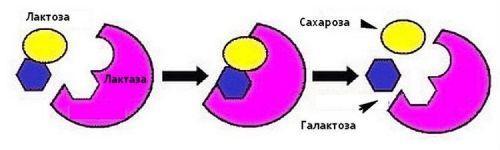 Схема расщепления лактозы
