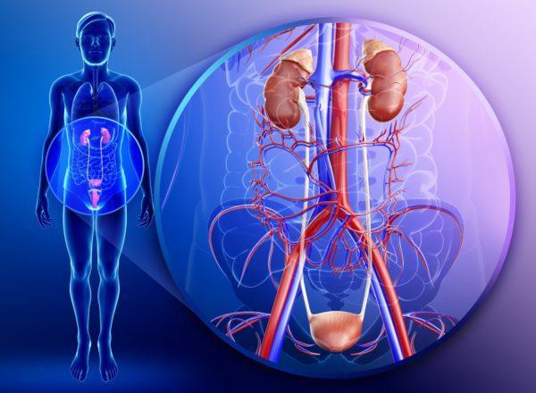Анатомически мочевыводящие пути тесно связаны с репродуктивными органами