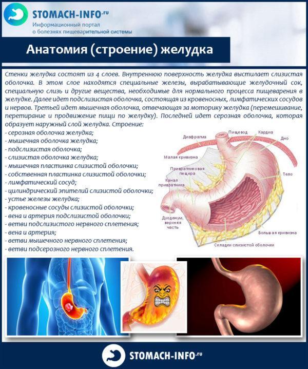 Анатомия (строение) желудка
