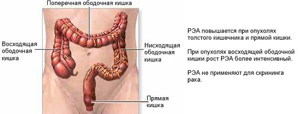 Некоторые характеристики раковоэмбрионального антигена