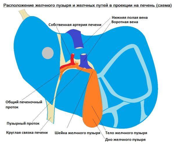 Жёлчь собирается в жёлчных протоках печени, а оттуда, через общий жёлчный проток поступает в жёлчный пузырь и в двенадцатиперстную кишку