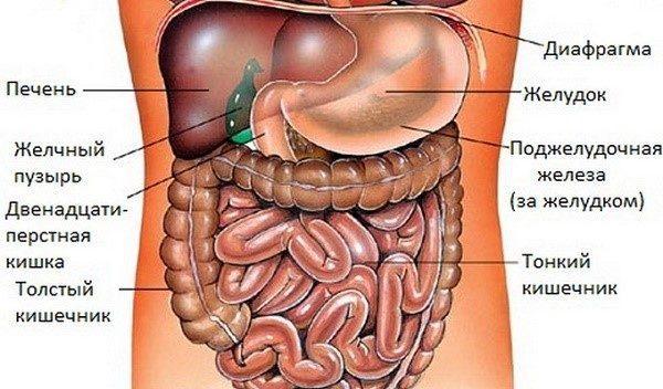 Расположение органов внутри нашего тела