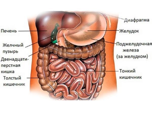 Структура брюшной полости у человека