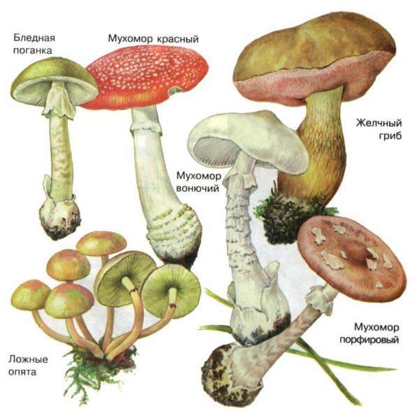 По незнанию можно собрать в лесу и употребить ядовитые грибы