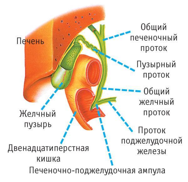 Накапливаясь в желчном пузыре, секрет поступает в кишечник