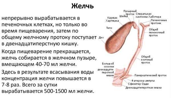 Физиология желчи