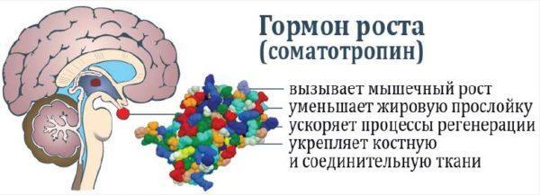 Гормоны вырабатываются небольшими по размеру органами – железами внутренней секреции. Но значение этих веществ в организме огромно