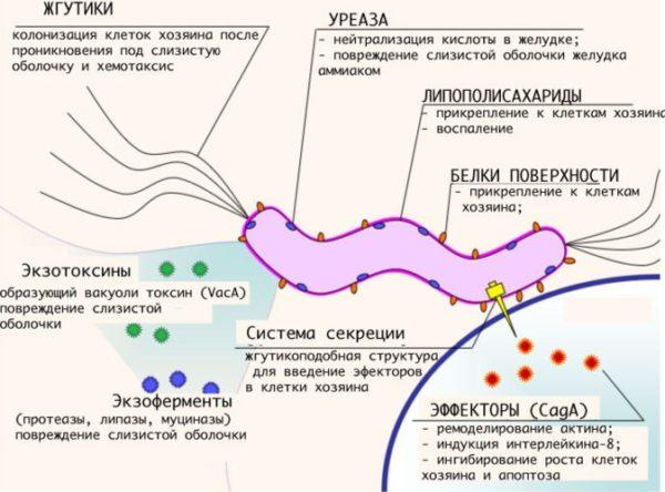 По данным ВОЗ около 80% населения Земли инфицированы бактерией Хеликобактер