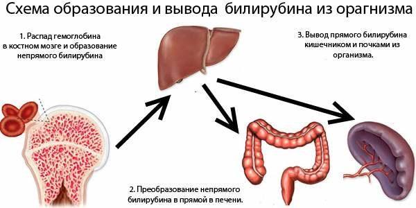 Как билирубин выводится из организма