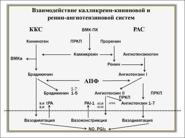 Калликреин-кининовая система