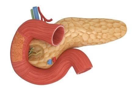 Поджелудочная железа расположена в абдоминальной зоне рядом с желудком