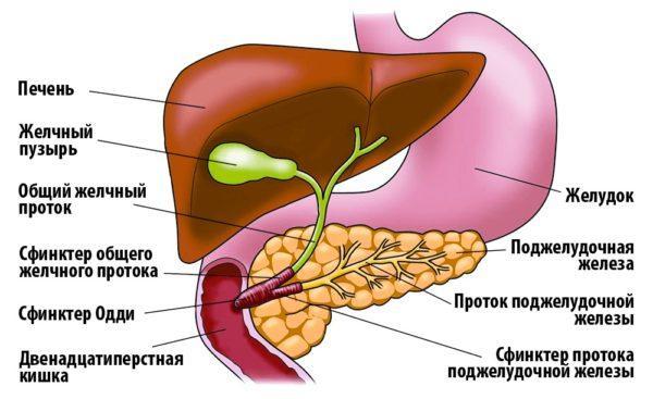Локализация печени и поджелудочной железы в организме