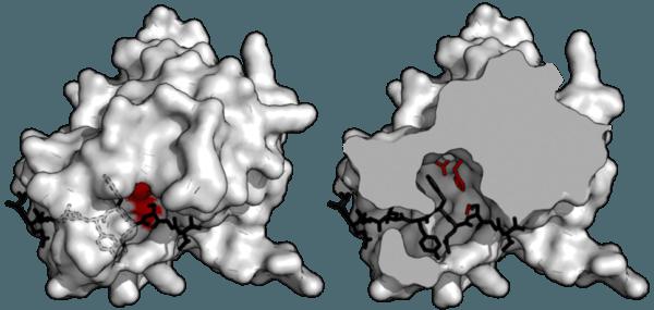 Пространственная модель трипсина