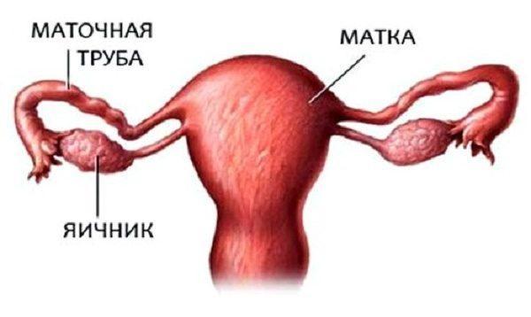 Расположение маточной трубы и яичника