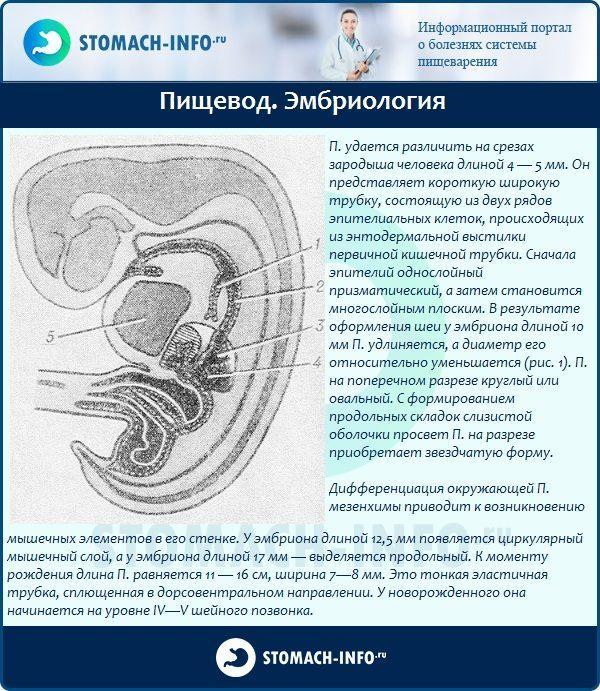 Пищевод. Эмбриология