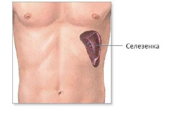 Селезенка находится в зоне живота лишь частично, однако боли в левой его части может провоцировать именно она