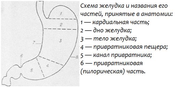 Схема желудка и названия его частей, принятые в анатомии