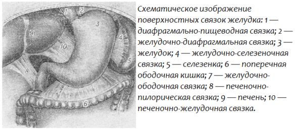 Схематическое изображение поверхностных связок желудка