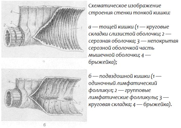 Схематическое изображение строения стенки тонкой кишки