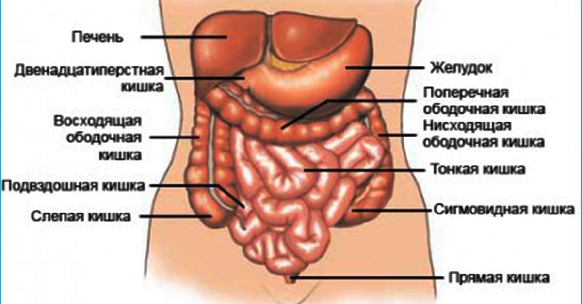 Строение кишечника у женщин в картинках