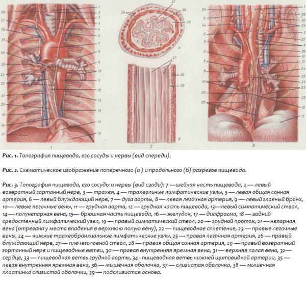 Топография пищевода, его сосуды и нервы