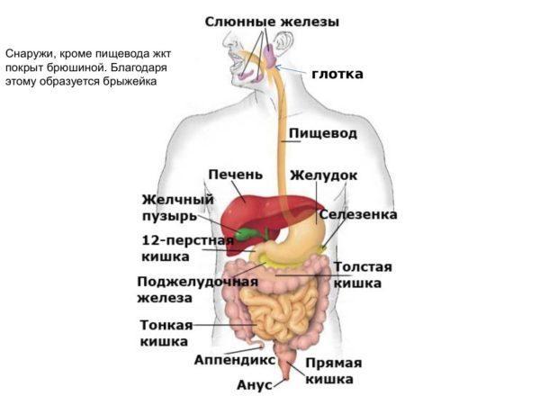 Желудочно-кишечный тракт и место пищевода в нем