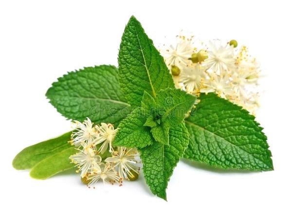 Цветки липы обладают бактерицидными свойствами, используются как потогонное, мочегонное, противовоспалительное средство