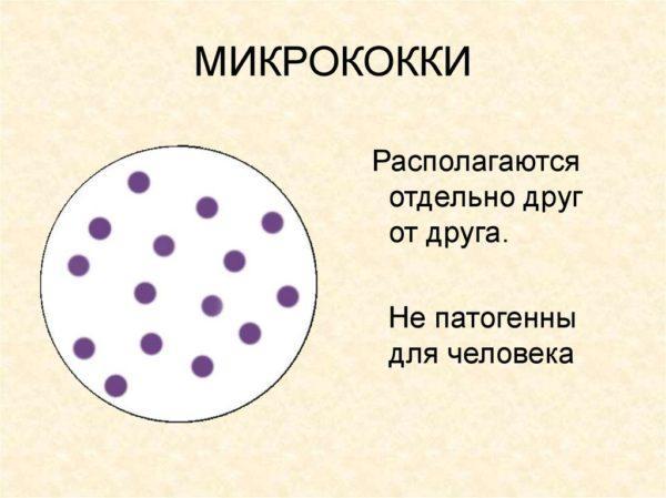Микрококки в небольшом количестве не несут вреда