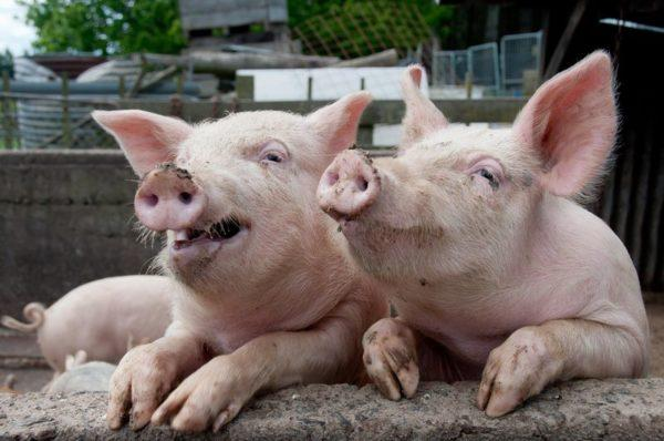 В свином мясе не может быть бычьего цепня, но зато они могут быть переносчиками другого вида цепня - свиного
